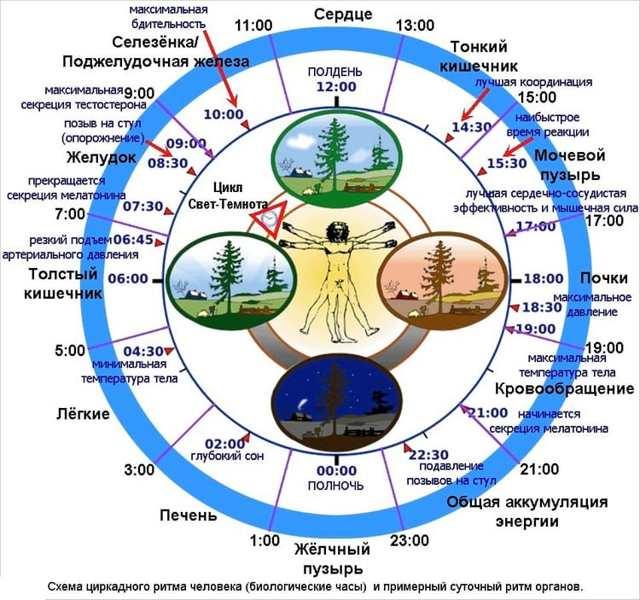 Биологические ритмы человека: их влияние на здоровье и работоспособность организма